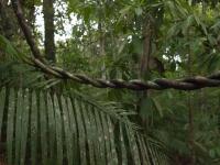 Lianenbaum im Dschungel