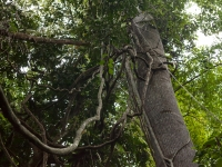 Lianenbäume im Dschungel