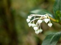 Pflanze mit weißen Blüten