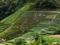 Tee-Landwirtschaft