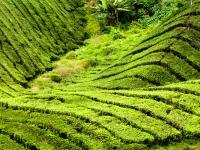 BOH Teeplantage