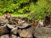 Eine Gruppe Makaken