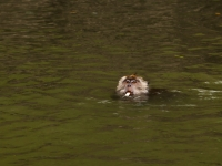 Schwimmender Makake