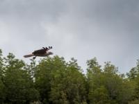 Fliegender Adler 2
